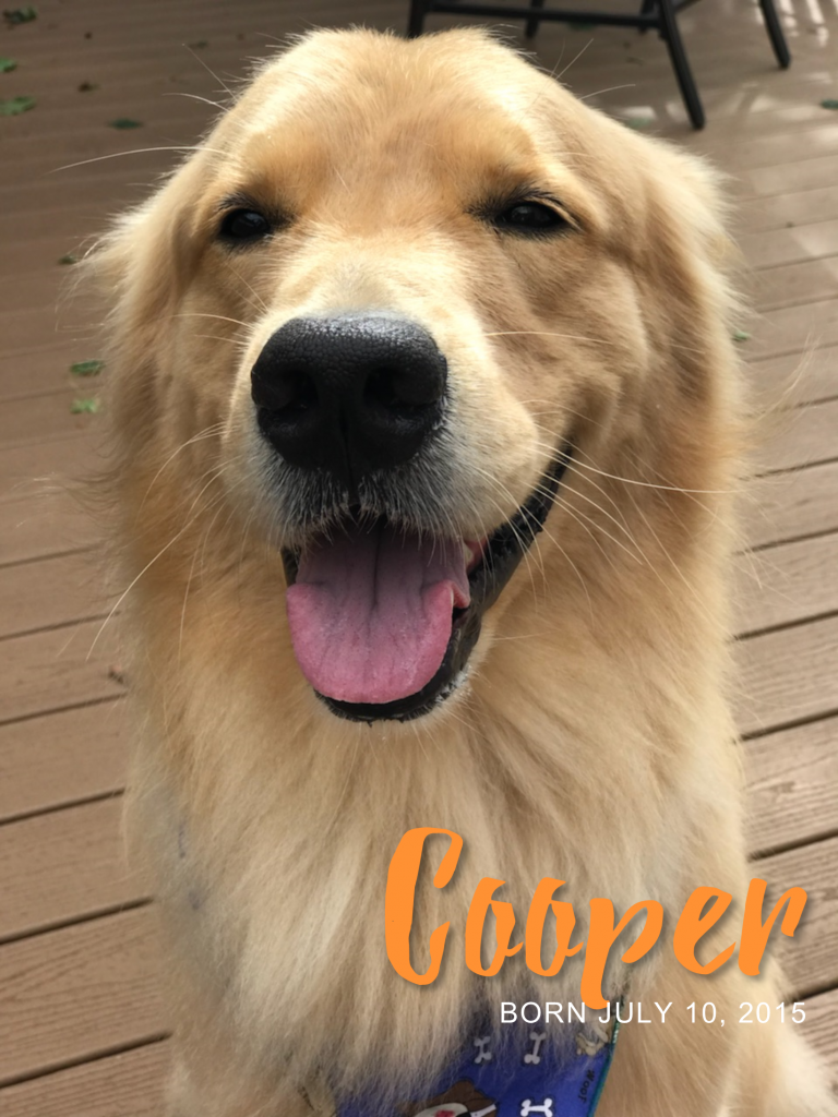 Cooper golden retriever