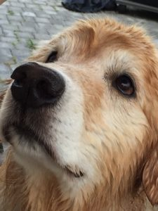 golden retriever dog canine cancer